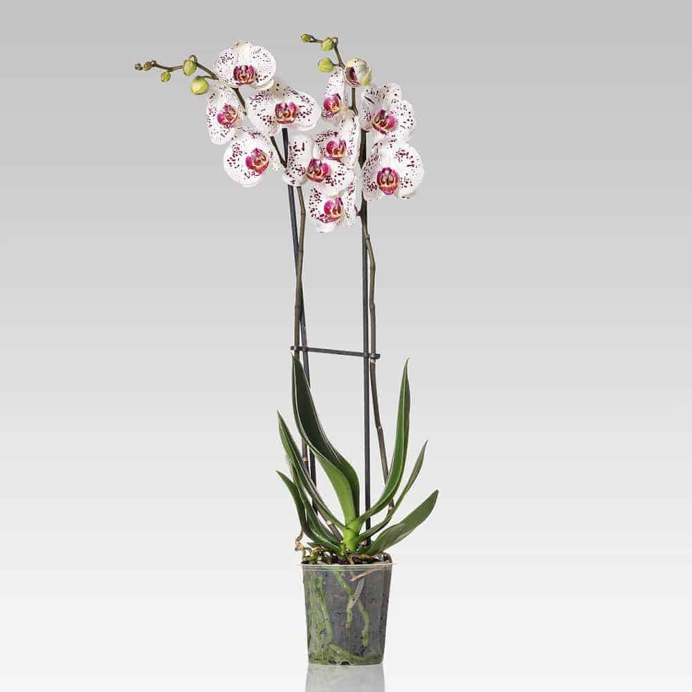 Orchidea Phalaenopsis 2 steli maculata