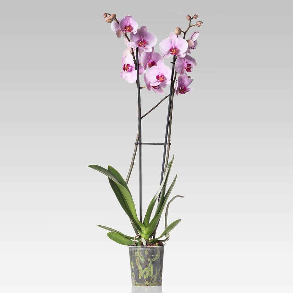 Orchidea Phalaenopsis rosa shop