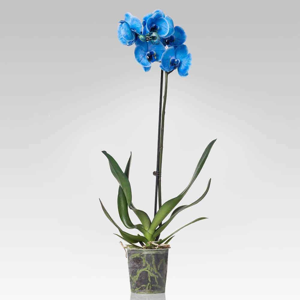 Orchidea Phalaenopsis 2 Steli Memphis Lezioit Shop