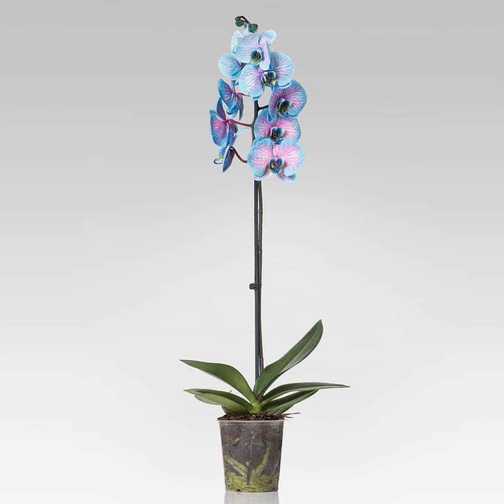 Phalaenopsis blu e rosa
