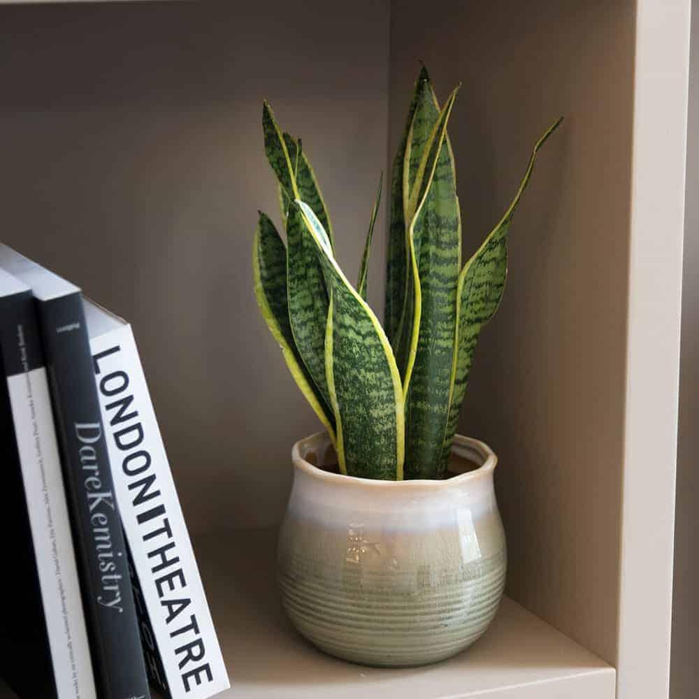 """Sansevieria """"Laurentii"""" vaso in ceramica vintage - Lezio ..."""