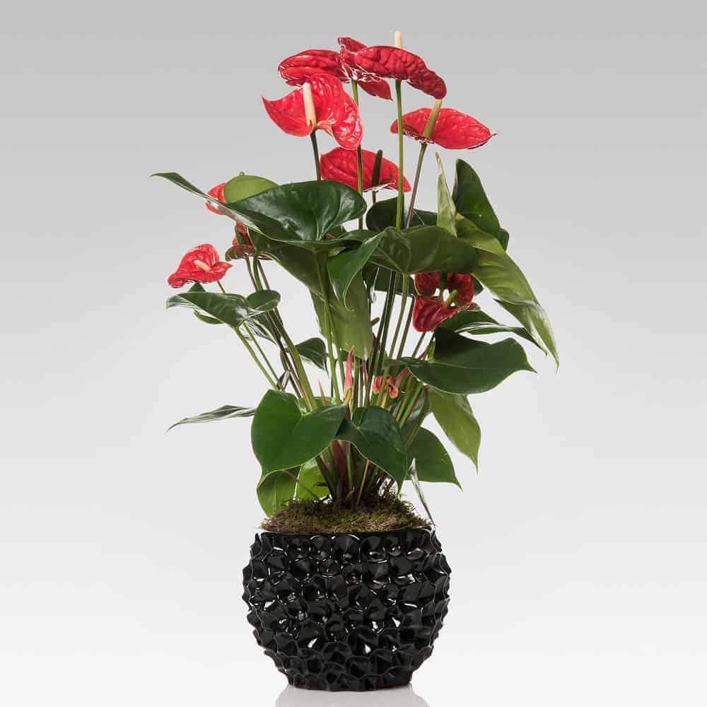 Anthurium con vaso di ceramica nero - Lezio.it Shop Online ...