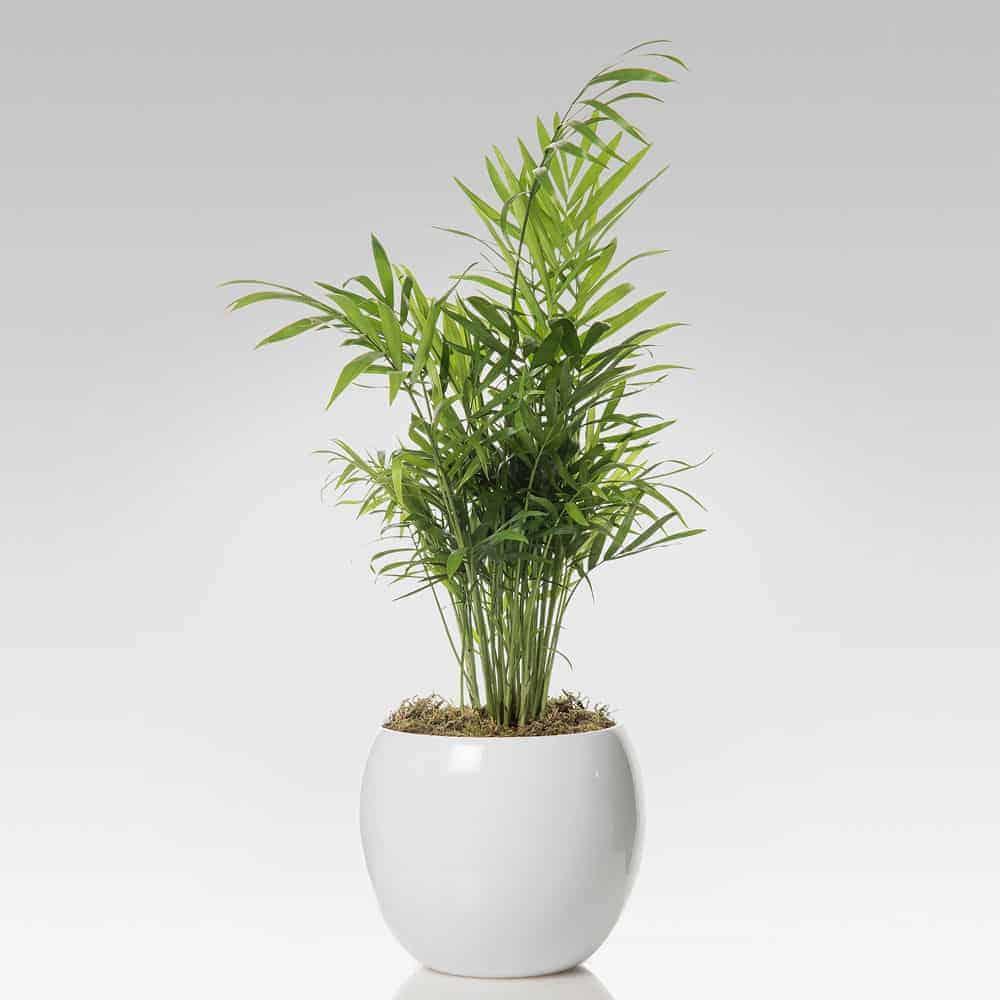 Piante Da Appartamento Ambiente Buio chamadorea vaso in ceramica bianca