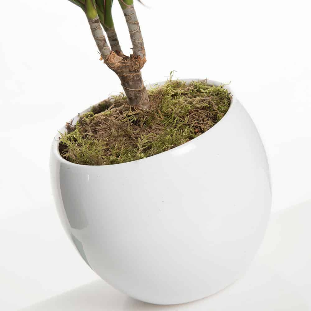 Dracaena Marginata pianta cm. 30 - Lezio.it Shop Online ...