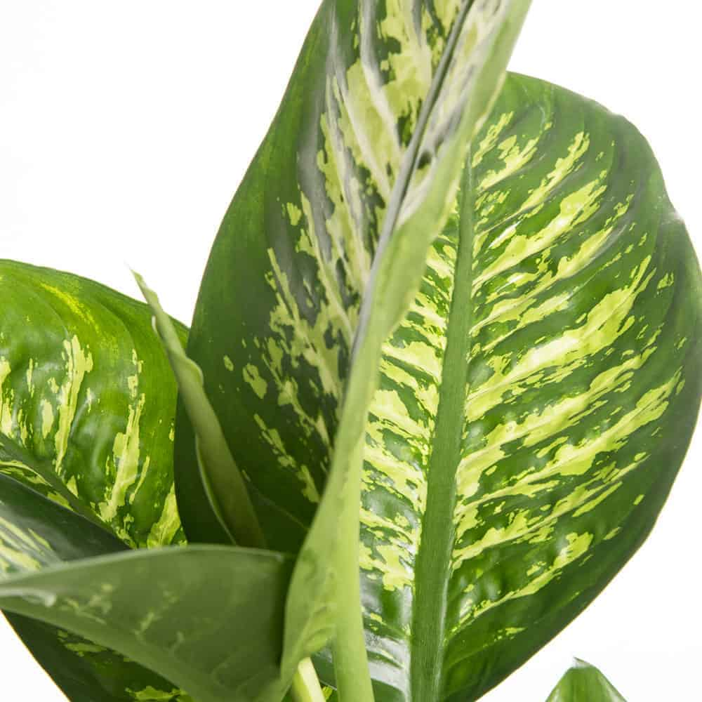 Dieffenbachia Tropical compra online