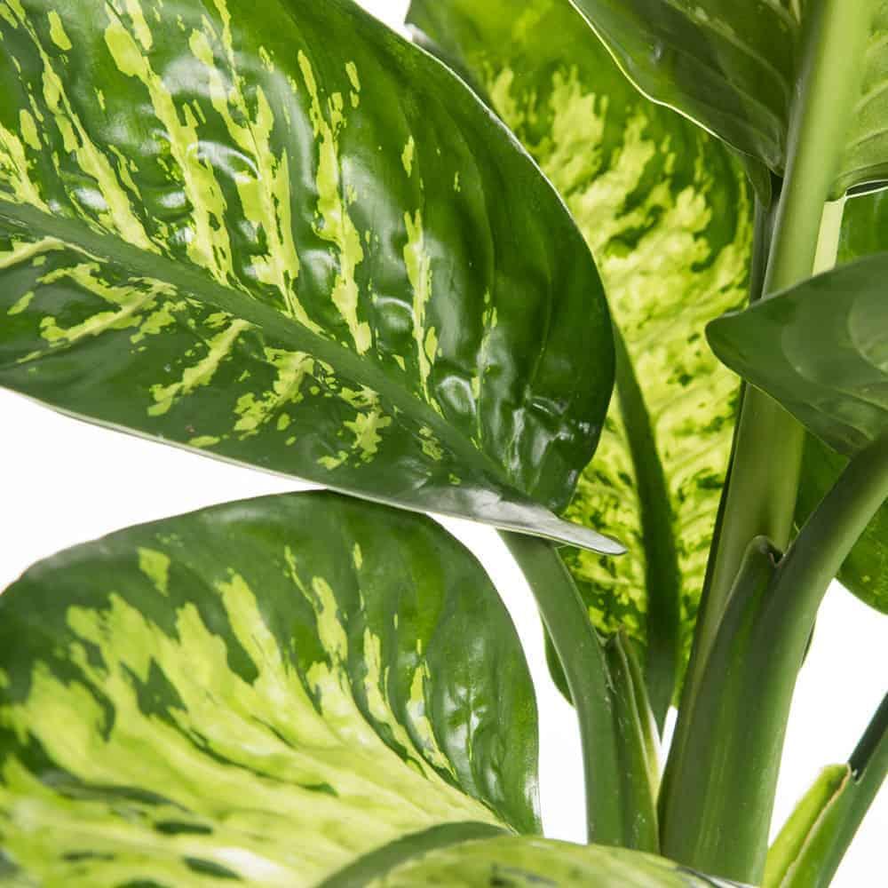Dieffenbachia Tropical pianta d'appartamento