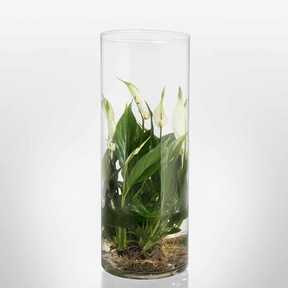 Composizione vetro idroponica Spatiphilium vendita online