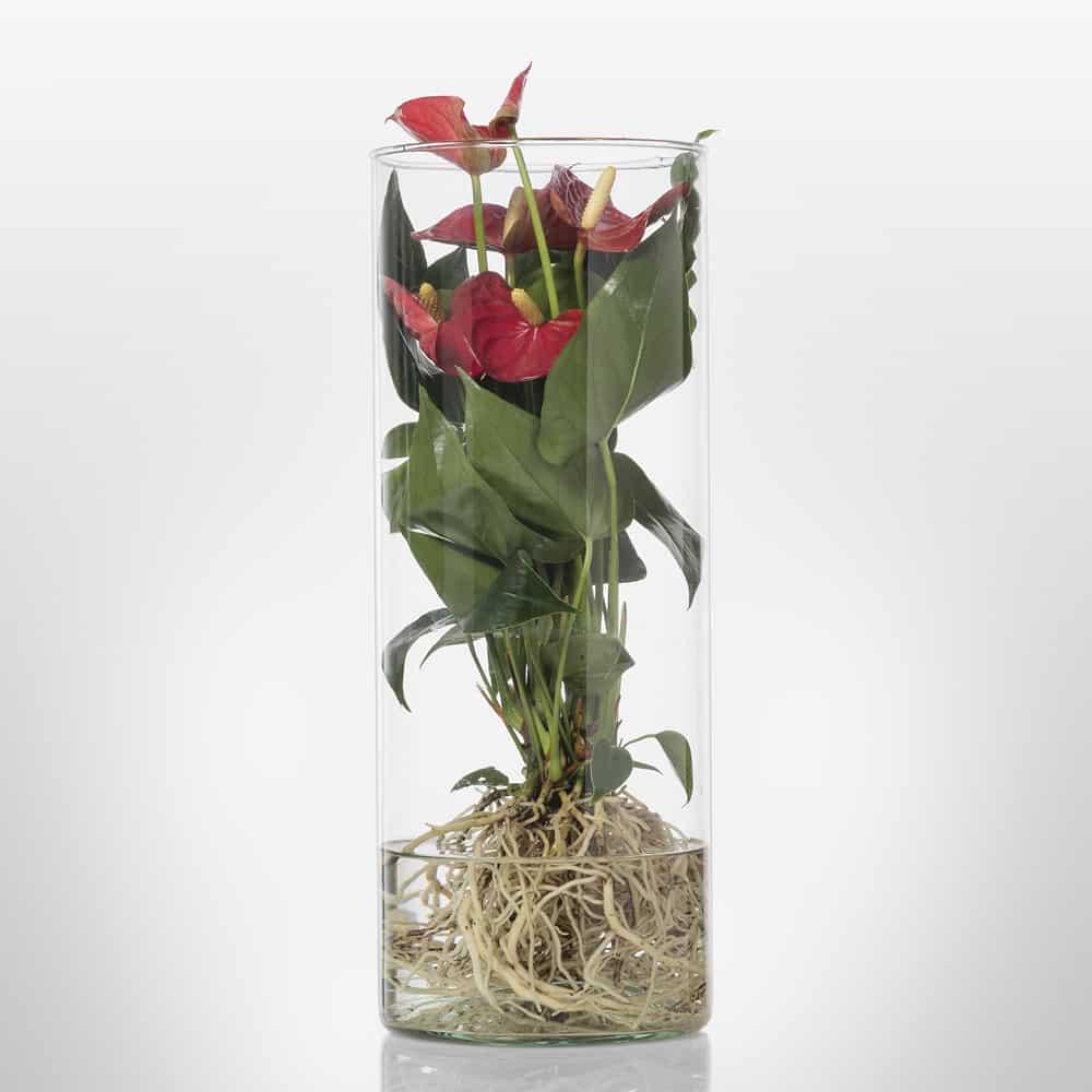 Composizione-vetro-idroponica-anthurium