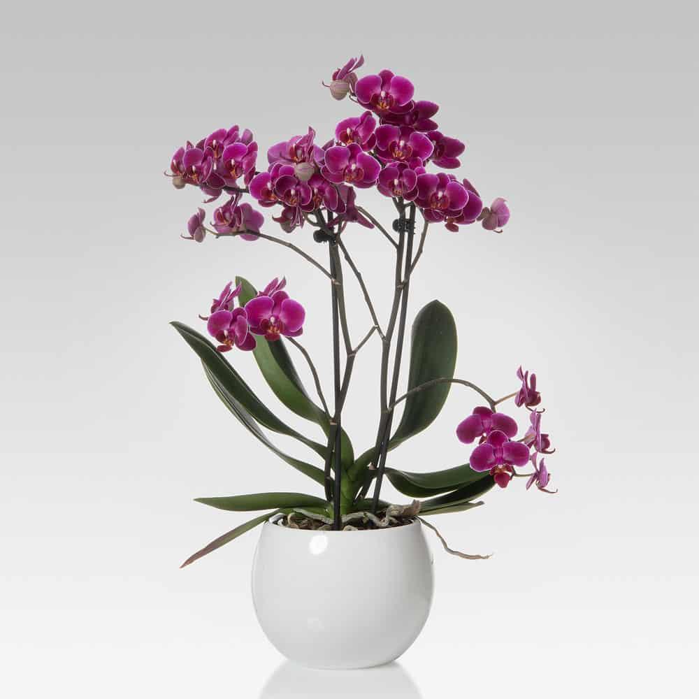 orchidea Phalaenopsis MULTIFLORA