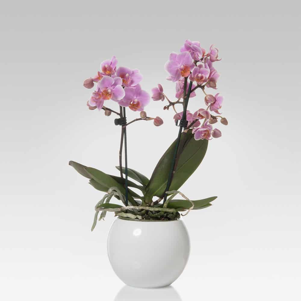 orchidea Phalaenopsis multiflora 2 steli