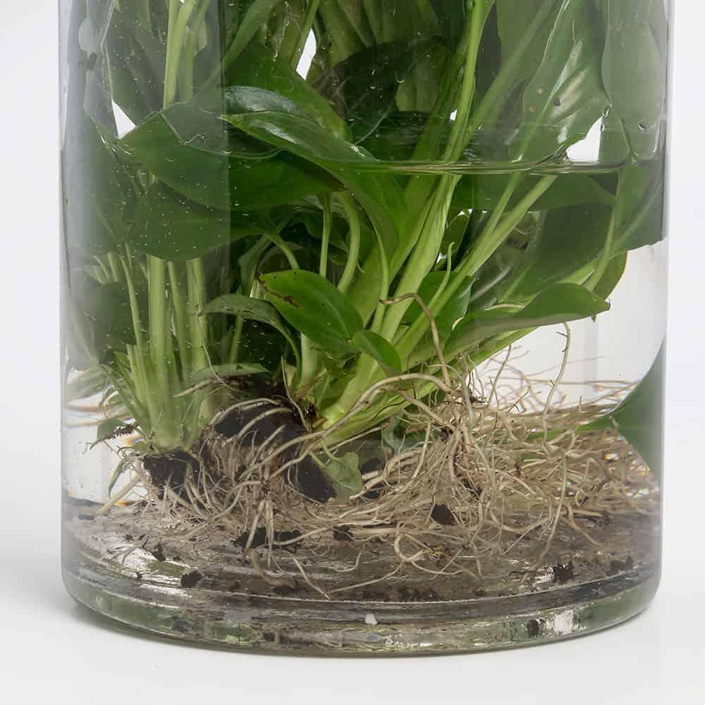 Composizione vetro idroponica Spatiphilium - Lezio.it Shop ...