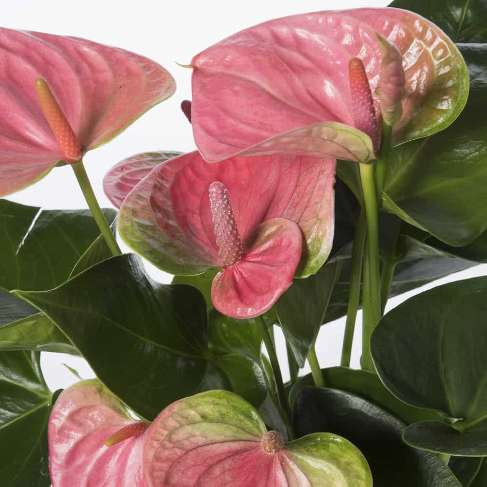 Anthurium Cura Della Pianta anthurium rosa in vaso di ceramica