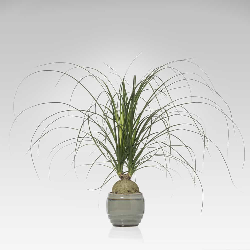 pianta Beaucarnea Nolina