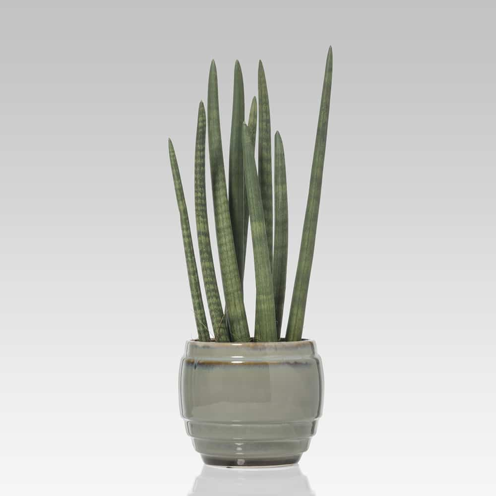 pianta grassa Sanseveria Cylindrica vaso in ceramica