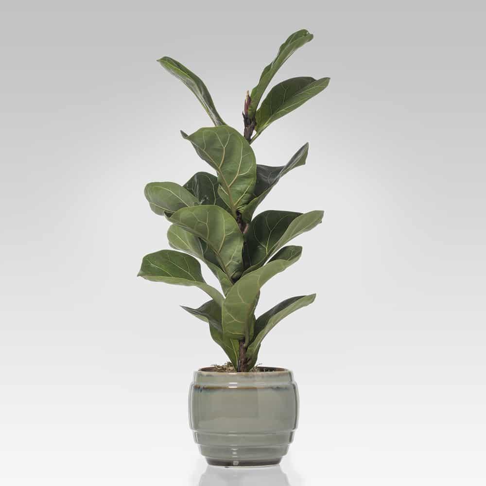 shop Ficus Lyrata
