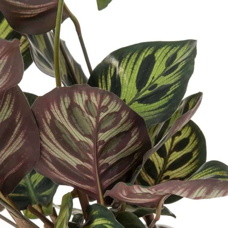 """Calathea Makoyana """"pianta del pavone"""" con vaso in ceramica ..."""