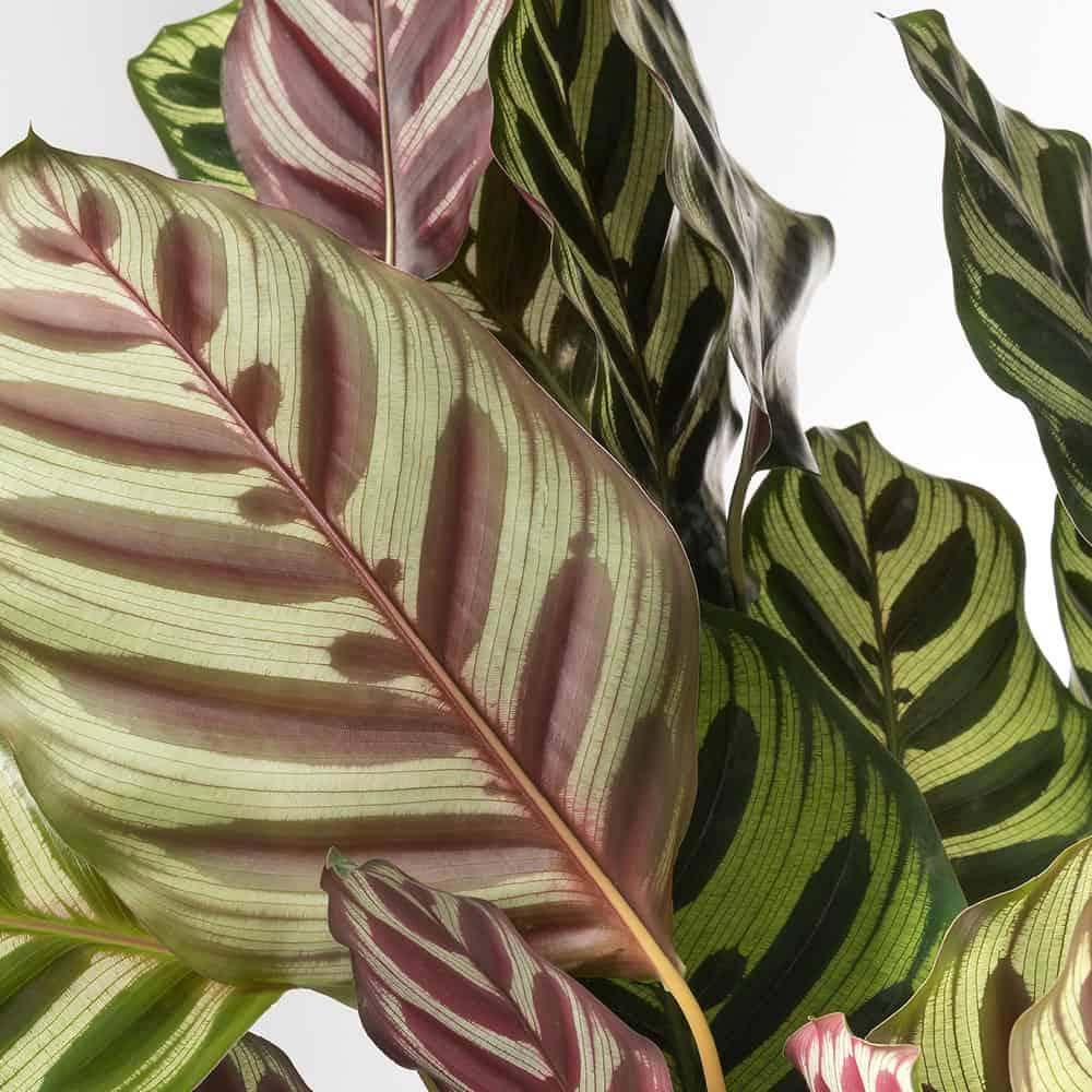 Piante Da Appartamento Lista.Calathea Makoyana Con Vaso In Ceramica Lezio It Shop Online