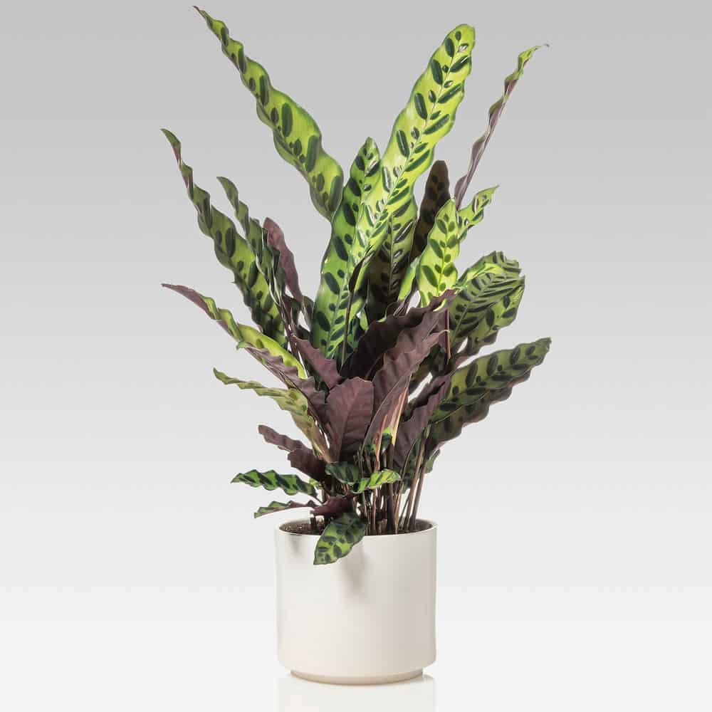 Calathea Insignis pianta appartamento