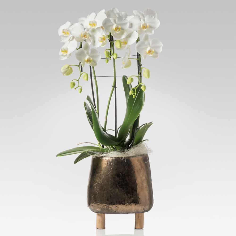 orchidea a cascata tre rami