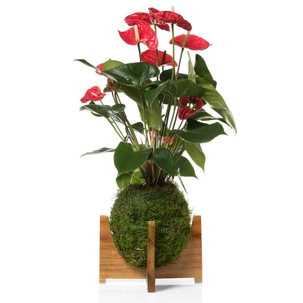 regalo Anthurium shop