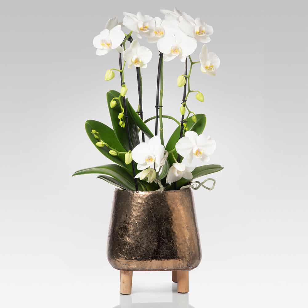 Orchidea Cascata Armoniosa