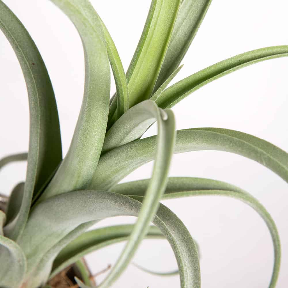Piante da interno poco luminoso: Tillandsia Curly con vaso ...