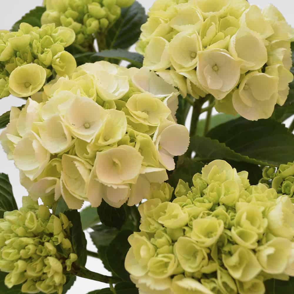 Come Curare Le Ortensie ortensia hydrangea in vaso di ceramica in vendita su lezio