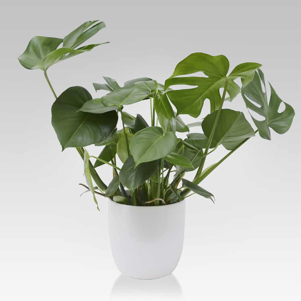 Philodendron Monstera grande