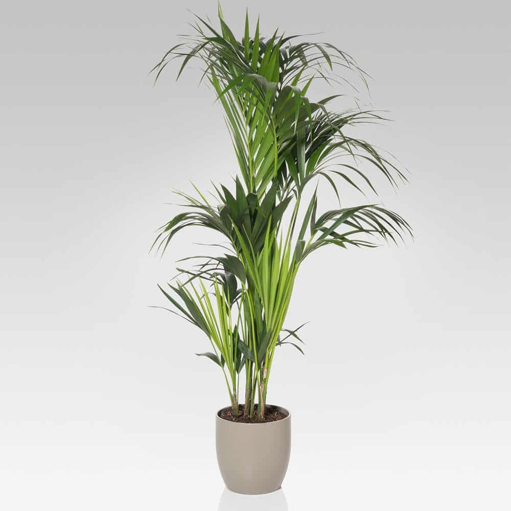 kenzia pianta verde che arreda