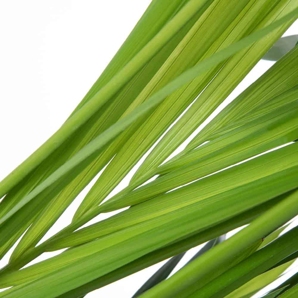 kentia pianta che arreda
