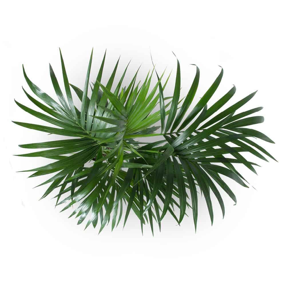kentia kenzia shop online piante verdi