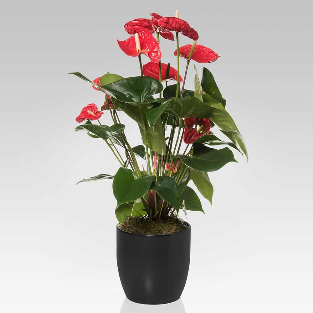 Anthurium Cura Della Pianta anthurium in vaso di ceramica