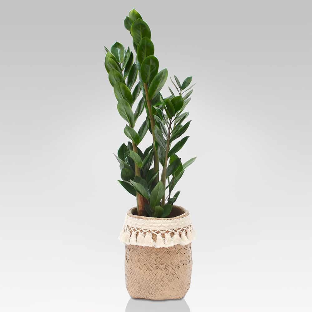Piante Da Arredo Appartamento piante da interno: prezzi e vendita piante da appartamento