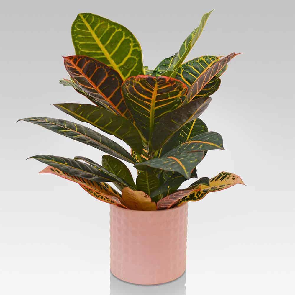 Croton Petra vaso in ceramica Rosa - Lezio.it Shop Online ...