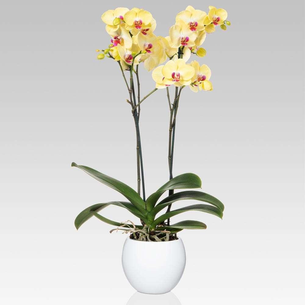 12458 2: Orchidea Phalaenopsis 2 Steli